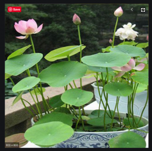 Pink Waterlilies and green leaves in a garden setting.